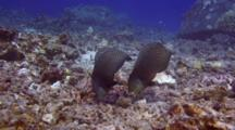 2 Rockmover Wrasse Throwing Rubble Chunks Around