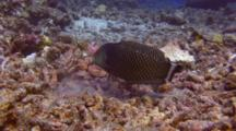 Rockmover Wrasse Digging In Rubble