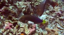 Yellowtail Wrasse And Redlip Parrotfish Feed Coral Rubble