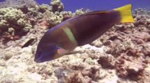 Yellowtail Wrasse, C/U Looking For Food