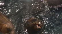 Group Southern Sea Lions Await Scraps Near Dock
