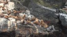 S. American Sea Lion Colony On Rocky Island, Isla Choros, Chile