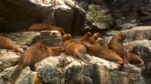 S. American Sea Lion Colony ,Rocky Island-Isla Choros, Chile