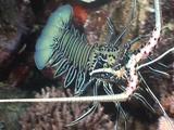Painted Crayfish
