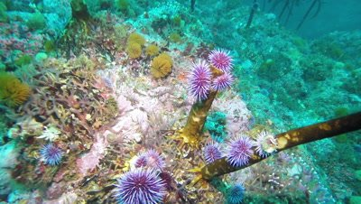 Purple sea urchins eating kelp