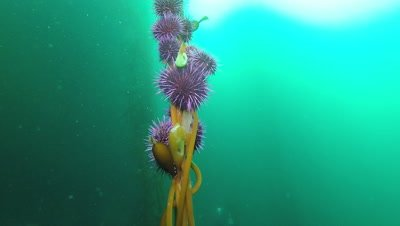 Purple sea urchins swarming and eating giant kelp