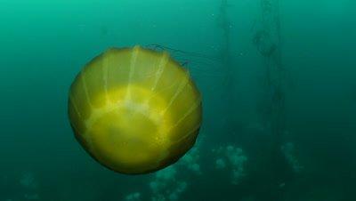 Brown sea nettle (Chrysaora fuscescens) jellyfish swimming over a field of Metridium farcimen anemones (Part 2)