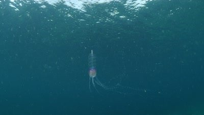 Physophora hydrostatica — Hula skirt siphonophore in Monterey Bay
