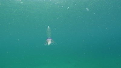 Physophora hydrostactica — Hula skirt siphonophore in Monterey Bay