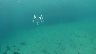 Eirene hydromedusa jellyfish in Monterey Bay