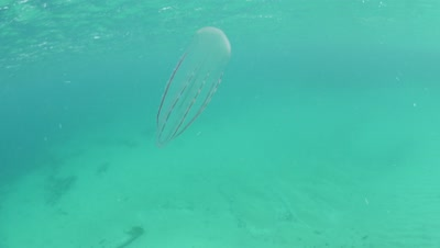 Beroe forskalii comb jelly swimming in Monterey Bay