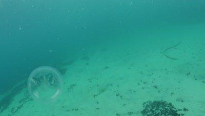 Female Phronima sedentaria hyperiid amphipod inside a salp