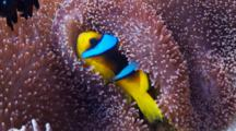 Close Up Shot Of Red Sea Anemone Fish Hiding In Anemone