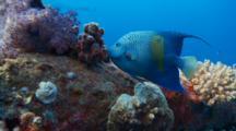 Yellowbar Angelfish Exits Behind Mast Of Wreck