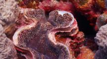 Cut Away Shot Of Detail Of Giant Clam
