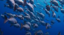 Swimming Through A School Of Red Snapper