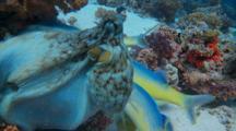 Reef Octopus Feeding With Schooling Yellowsaddle Goatfish