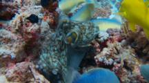 Reef Octopus Moving Over Coral With Schooling Yellowsaddle Goatfish