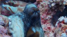 Close Up Of Reef Octopus With Schooling Yellowsaddle Goatfish