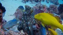 Establishing Shot Of Reef Octopus With Schooling Yellowsaddle Goatfish