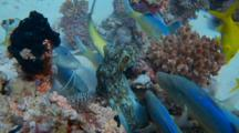 Reef Octopus Hiding In Coral With Schooling Yellowsaddle Goatfish