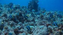 Schooling Bannerfish Swimming Along Reef