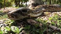 Burmese Python  On Ground