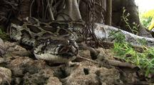 Burmese Python On Ground, Turns And Moves Away