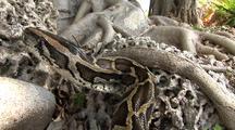 Burmese Python Hunting On Rocks