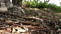 Burmese Python Crawls Past Camera On Ground