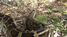 Burmese Python, Hunting, Crawling On Ground