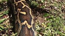 Burmese Python, Pattern, Crawling