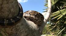 Burmese Python, In Tree, Hunting, Body