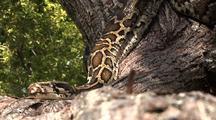 Burmese Python, Indian Python, Snake, Constrictor