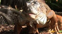 Green Iguana Hunting On Ground