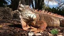 Green Iguana Hunting On Ground