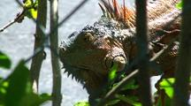Green Iguana Eats Flower