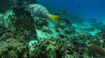 Parrotfish Feeding And Moving About Reef