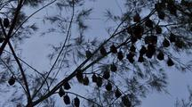 Time-Lapse Of Bats In A Tree On Tioman Island Malaysia