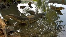 Monitor Lizards In A River On Tioman Island Malaysia