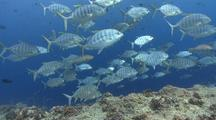 Large School Of Blue Trevally Swimming Left To Right Over Coral Reef, Blue Water In Background.
