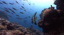 Juvenile Batfish Hangs Over Coral Reef As Huge School Of Fish Swims By In Background