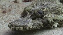 Close Up Crocodilefish Resting On Sand