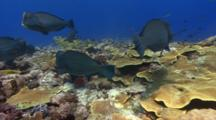 Slow Pov Shot Of Reef And Bumphead Parrotfish, One Fish Exits Frame Excreting Sand