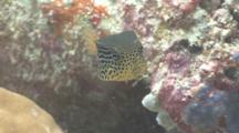 Female Solar Boxfish Swims Around Reef
