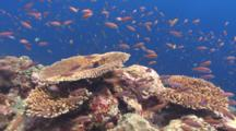 Colorful Pristine Coral Reef And Small Red Fish