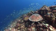 Large Male Hawksbill Turtle Resting On Coral Reef With Huge School Of Fish In Background