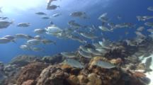 Traveling Shot Through School Of Silverfish Ending With Sunburst