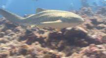 Adult Zebra Shark Swims Over Reef Passed Viewer And Off Into Distance, Diver In Background.