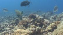 White Tip Reef Sharks, Trevallies And Napolean Wrasse Hunt Over Coral Reef
